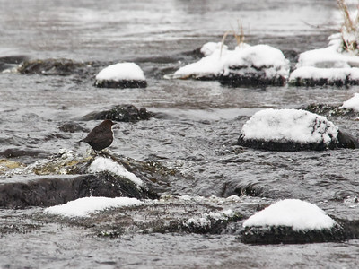White-throated dipper at Siuronkoski