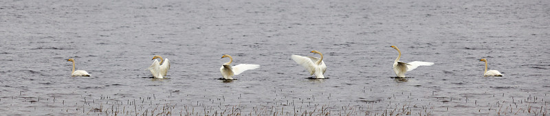 Whooper swan multiplied