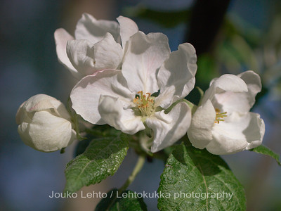 Omenankukka - Apple flower