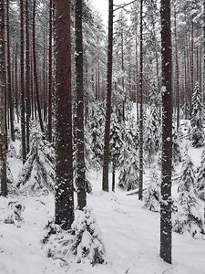 Pines and Seitseminen winter