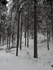 Norway spruces in Seitseminen winter