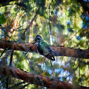 Eurasian threetoed woodpecker