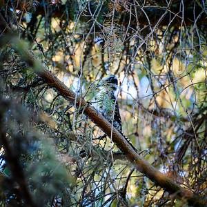 Eurasian threetoed woodpecker missed one