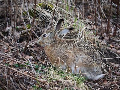 European hare