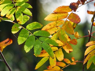 Mountain Ash Fall Colors