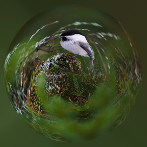 Willow Tit ball